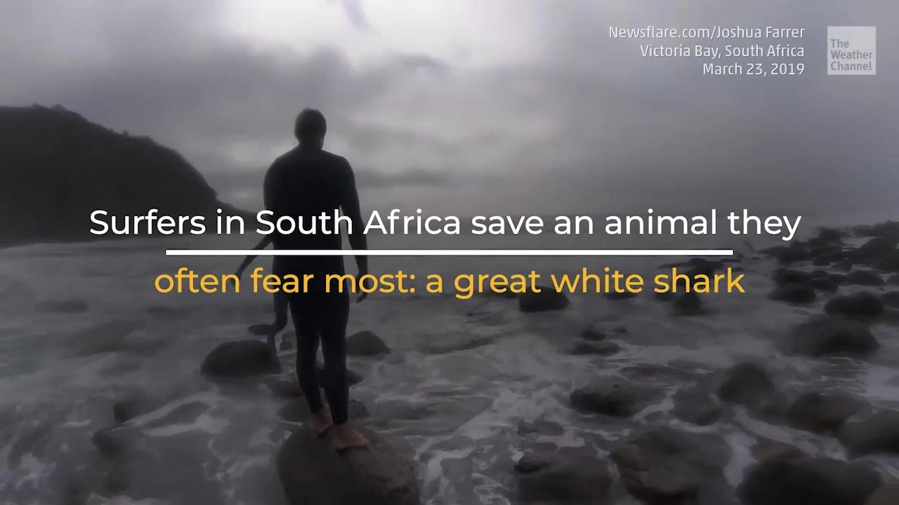 Surfers and lifeguards save a stricken baby great white shark in South Africa.