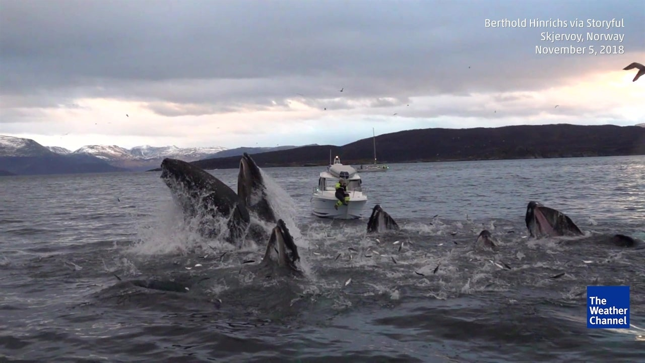 Watch These Humpback Whales Feast on a School of Fish in Norway