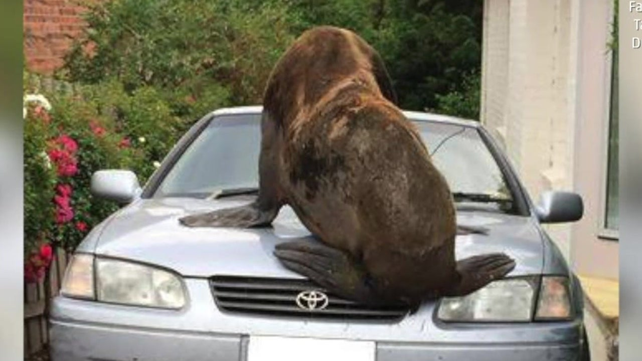 Fur Seal Makes Itself At Home On Car The Weather Channel
