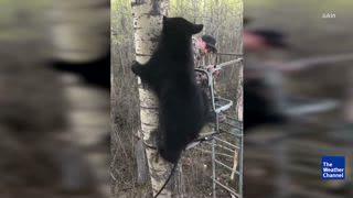 Beary Close Encounter