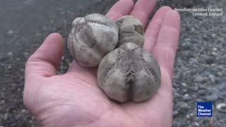 'Sea Potatoes' Wash up on U.K. Beach