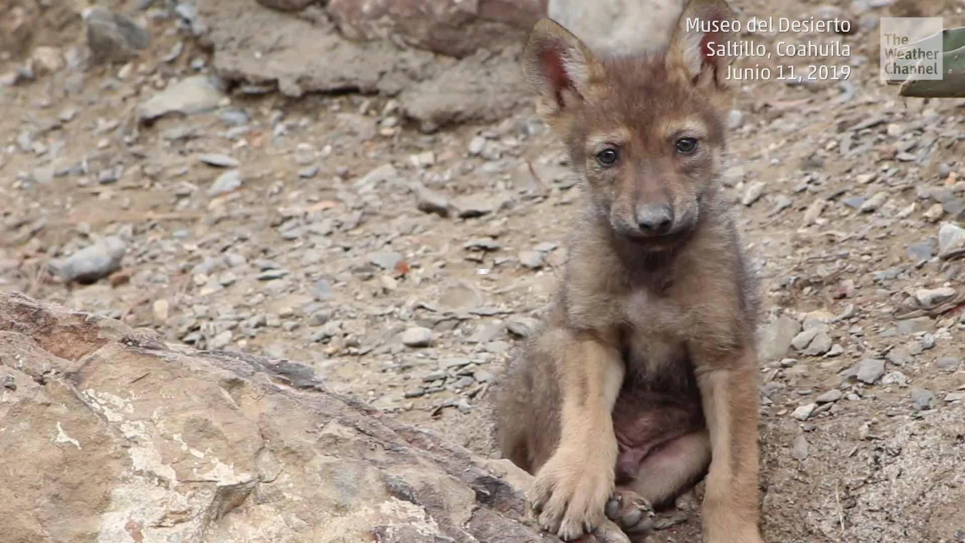 Una camada de tres lobeznos grises mexicanos, de la subespecie Canis lupus baileyi nació en abril de 2019 en el Museo del Desierto de Saltillo, Coahuila, México. Ya que en vida silvestre están extintos, unas 50 entidades binacionales se unieron para revitalizar la población.