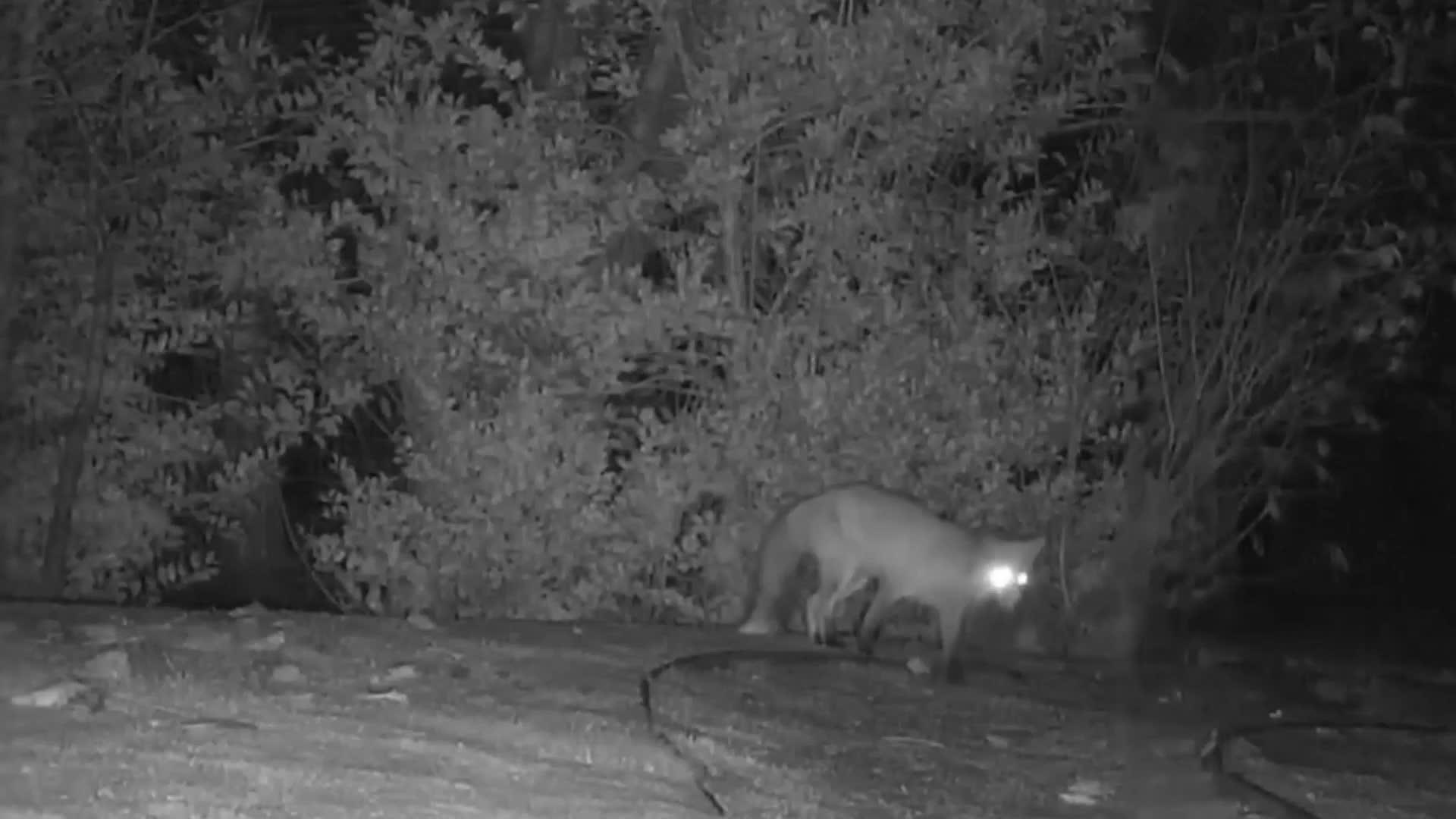 ¿Alguna vez te has preguntado qué hacen los zorros y los tejones en la oscuridad? La respuesta es adorable.