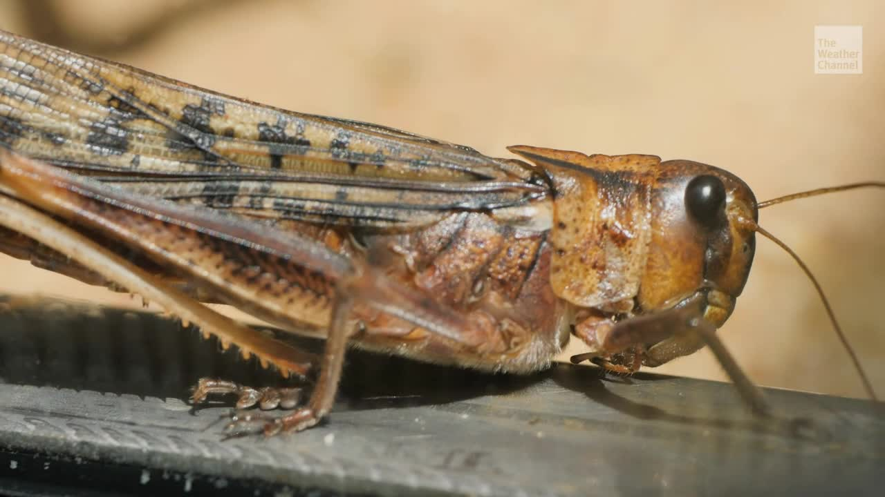 Swarm of Grasshoppers Has Left Nevada But Could Return