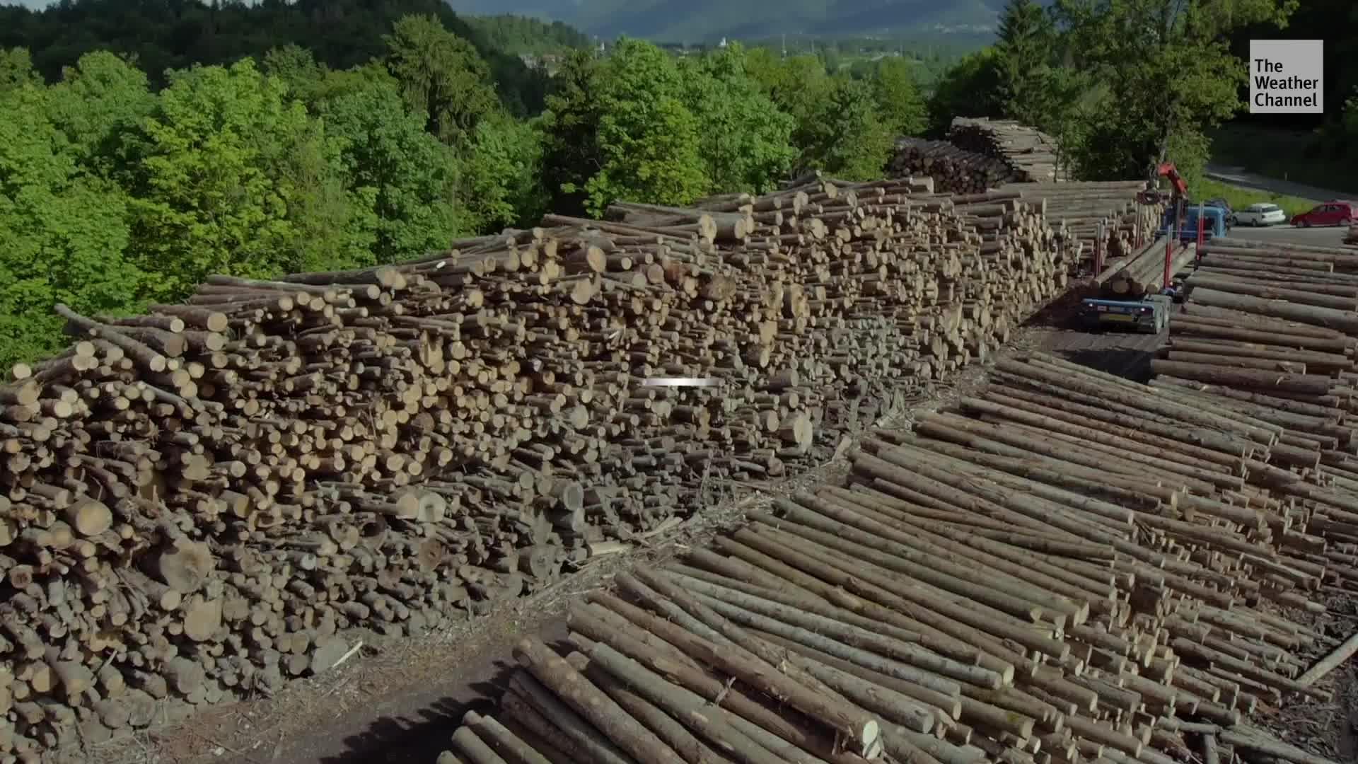 Las plagas invasoras están matando tantos árboles que liberan tanto carbono cada año como millones de automóviles.
