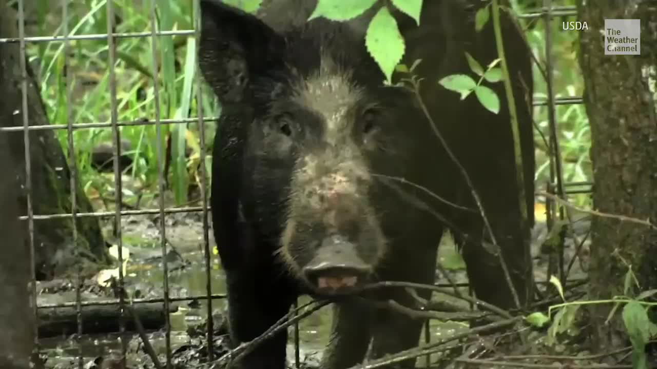 Feral hogs from Canada's Alberta and Saskatchewan provinces are edging close to the Montana border, threatening farmland and the environment.