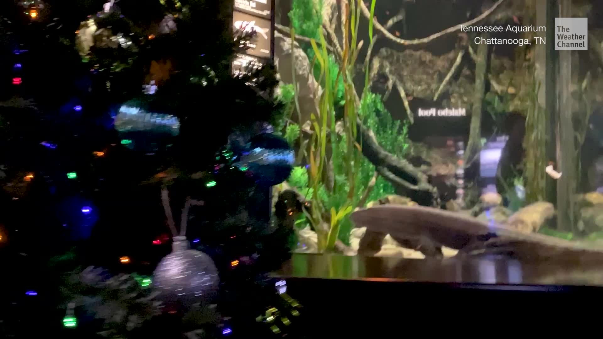 Electric Eel Lights Christmas Tree The Weather Channel