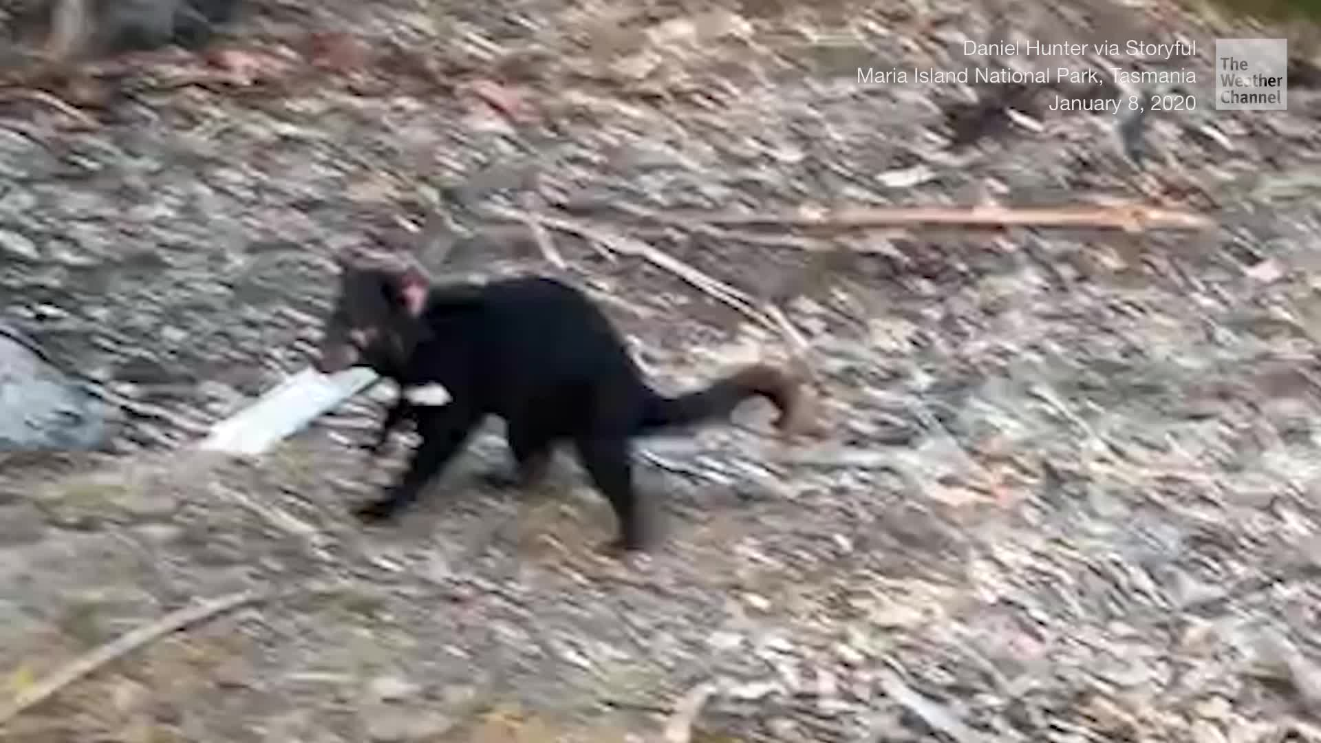 This mischievous Tasmanian devil might have a sweet tooth.