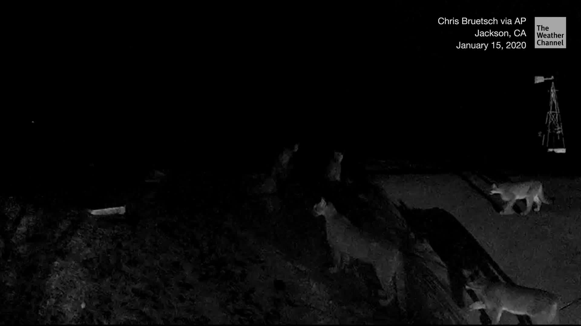 A home surveillance camera captures five mountain lions in a Northern California driveway -- a scene biologists say is incredibly rare.