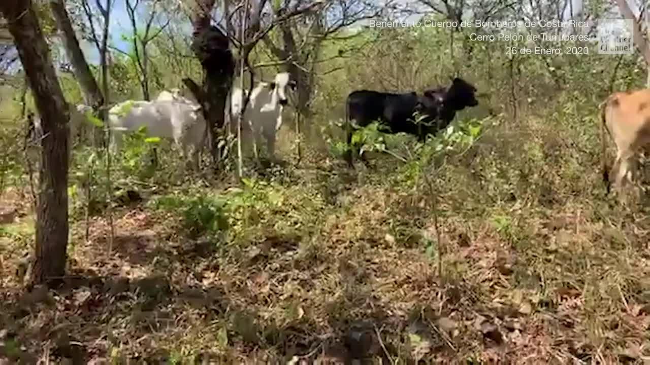 Los bomberos de Costa Rica luchan contra un incendio forestal en la zona boscosa del Cerro Pelón de Turrubares, San José. Un bombero captó el momento en que unas vacas se desplazaban huyendo del fuego cercano.