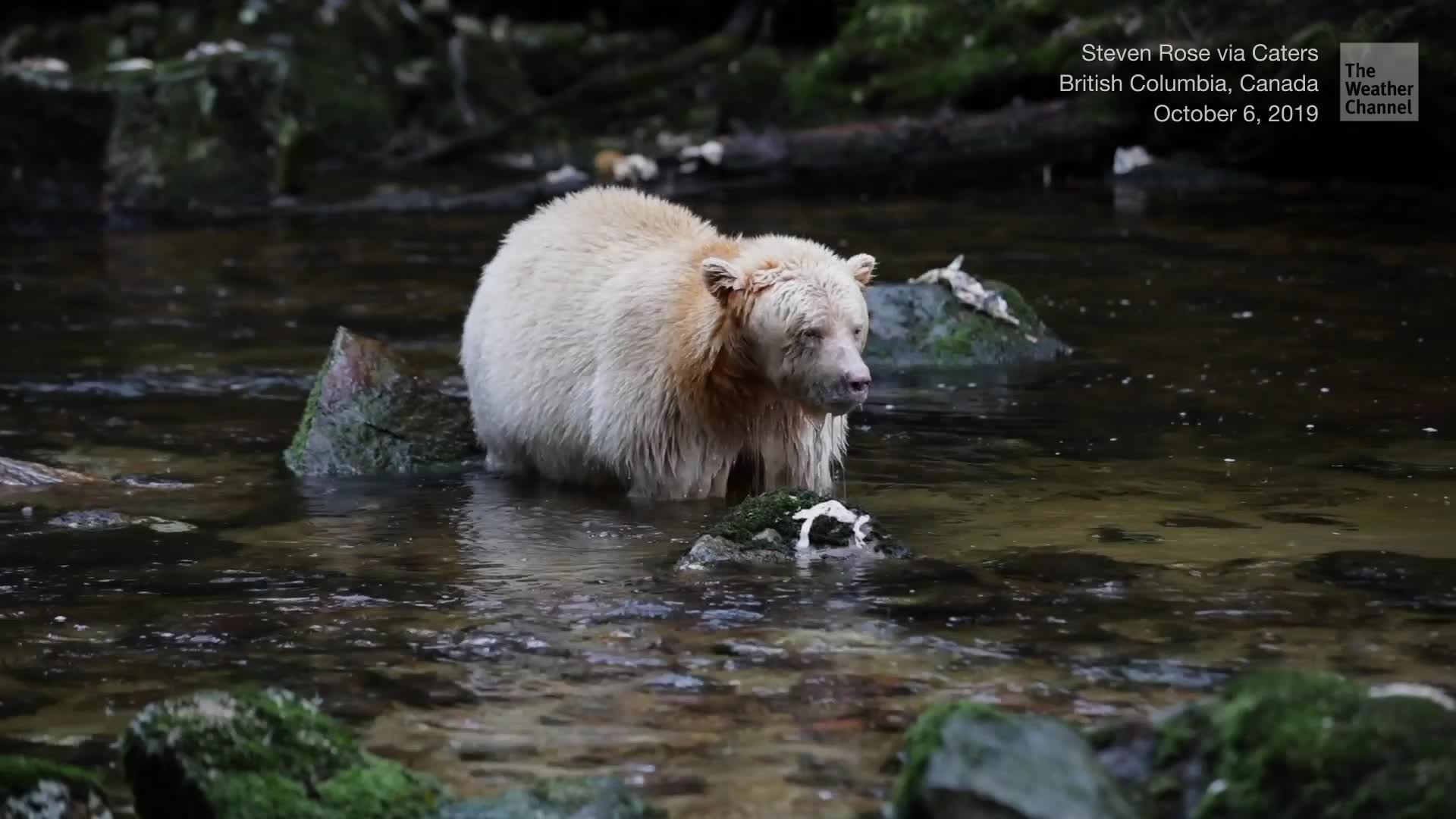 Rare video emerged of a spirit bear fishing in British Columbia. It's estimated only about 400 of them exist in the wild.