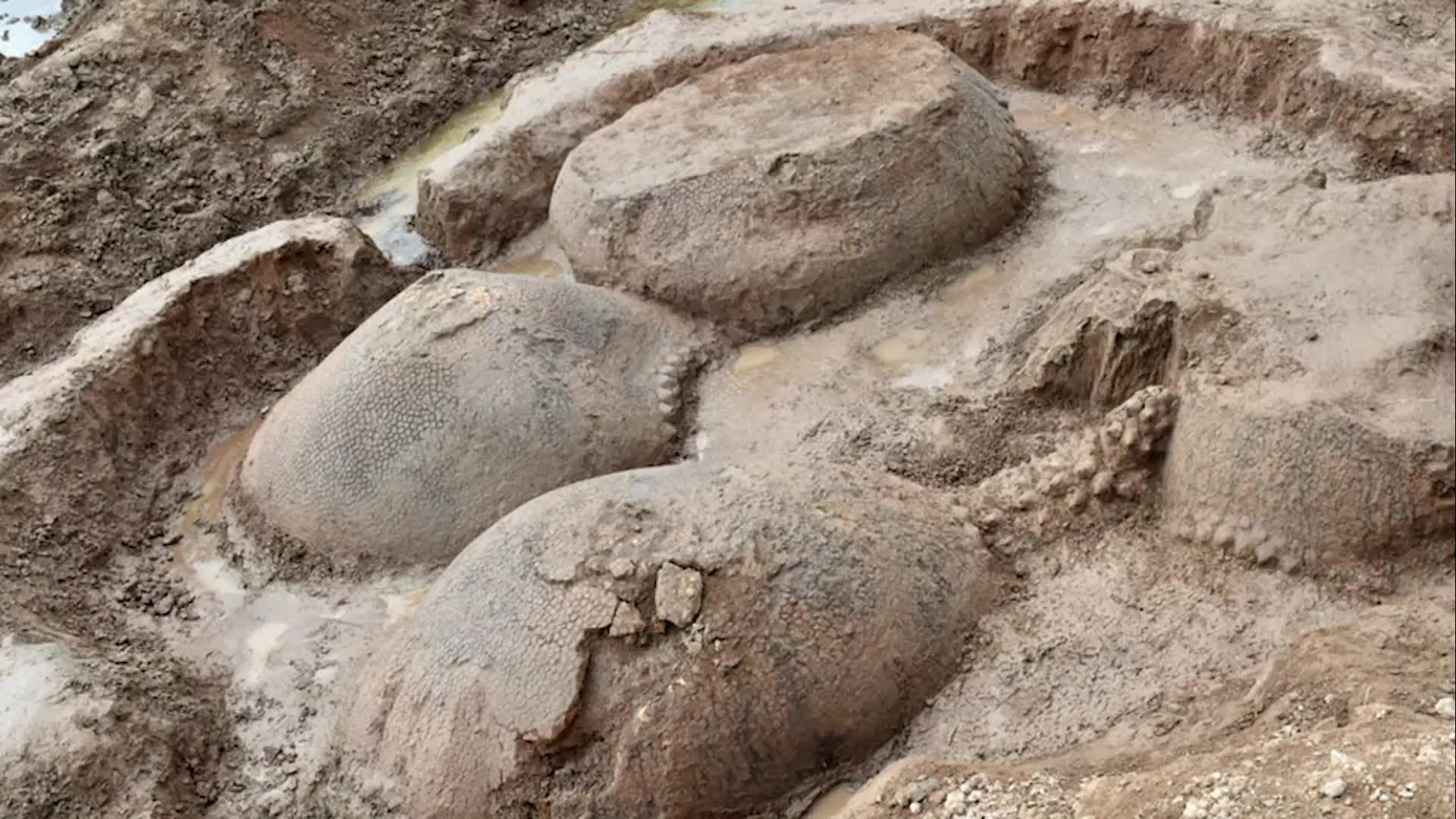 Los fósiles de cuatro enormes criaturas con forma de armadillo se han encontrado en Argentina.