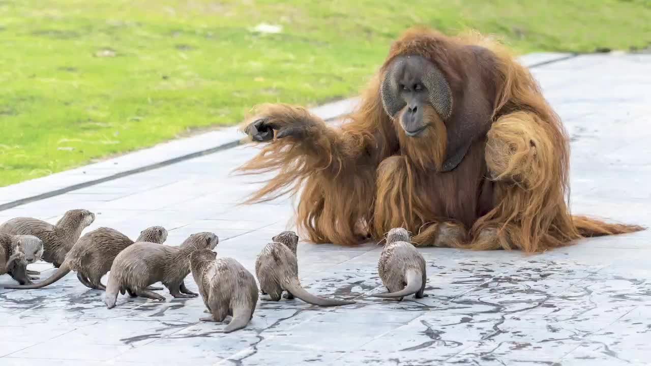family of three orangutans developed a beautiful friendship with their tiny neighbors, a family of Asian small-clawed otters, at Pairi Daiza Zoo at Domaine du Cambron, Belgium.