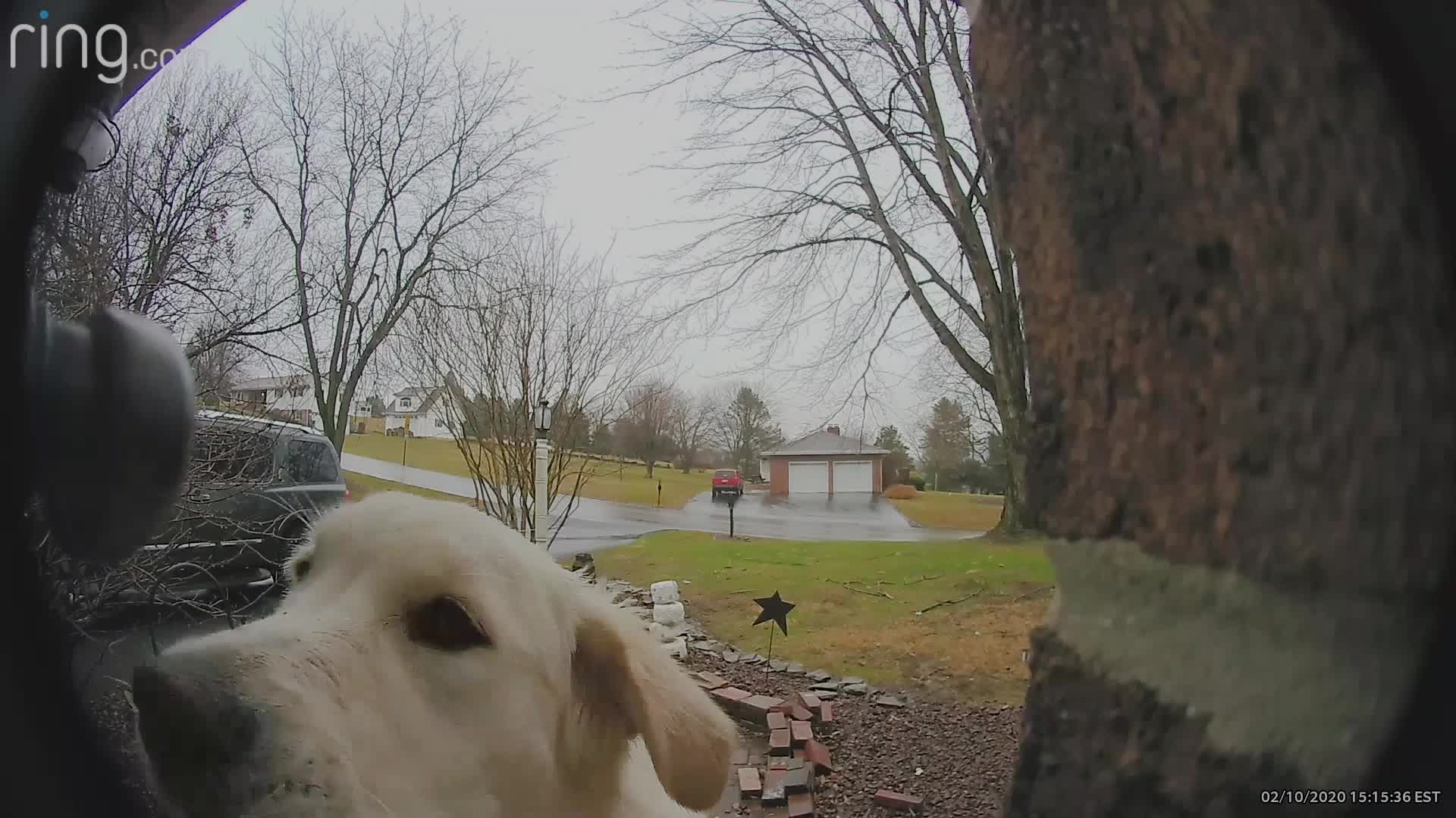 A golden retriever in Pennsylvania rings the doorbell to get inside the house.