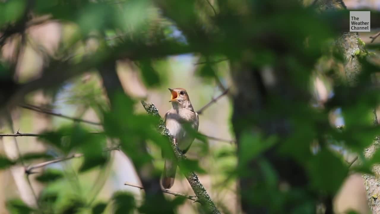 El cambio climático puede estar acortando la vida de los ruiseñores, los pájaros cantores favoritos de la naturaleza. Y eso es algo malo. Le explicamos por qué.