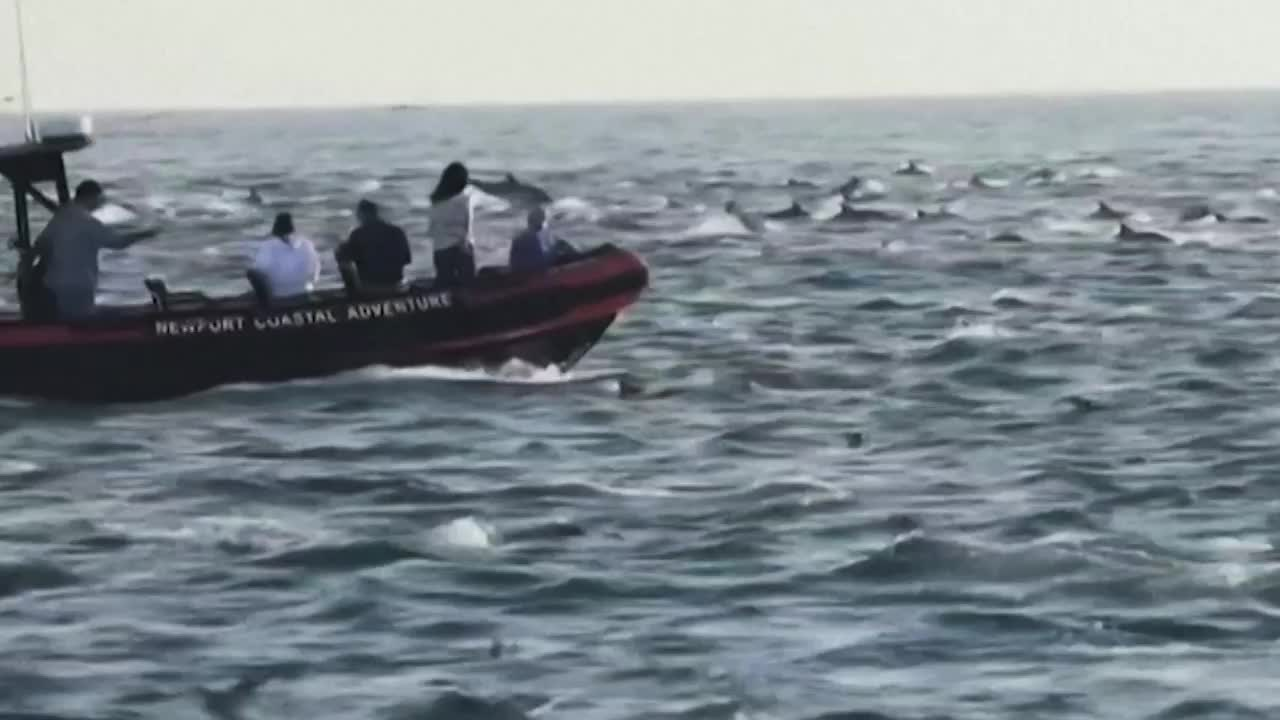 Watch Superpod of 1,000 Dolphins off California Coast