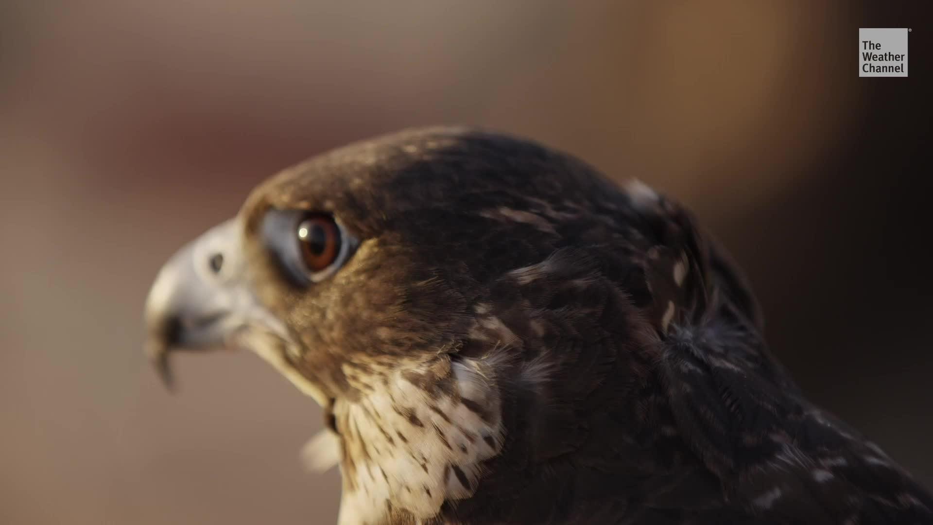 Microplásticos encontrados en aves rapaces