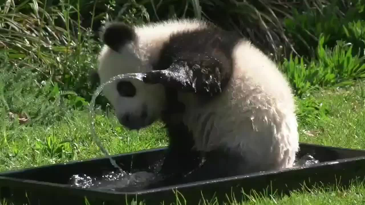 Panda cub Paule and his twin brother Pit were the first pandas born at the Berlin Zoo in Germany. Paule went for a dip in a little tub.