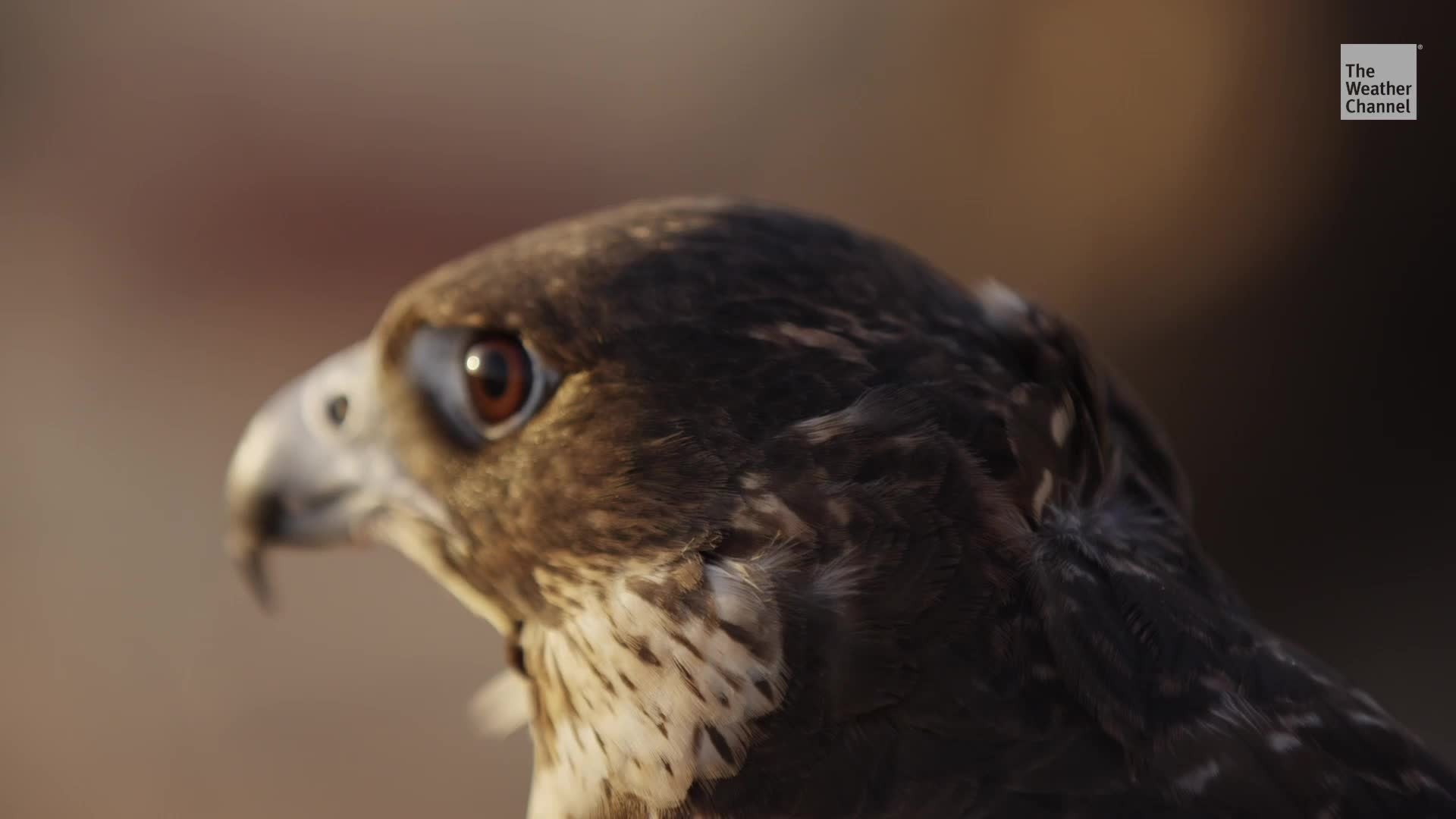 Microplastics Found in Birds of Prey For First Time