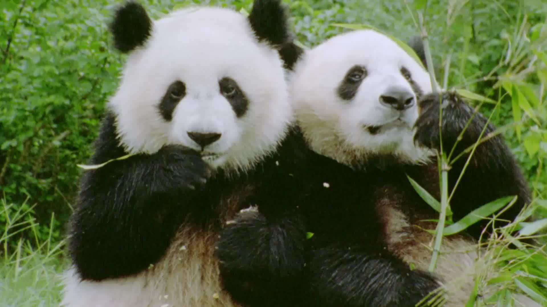 China construirá un enorme parque temático Panda