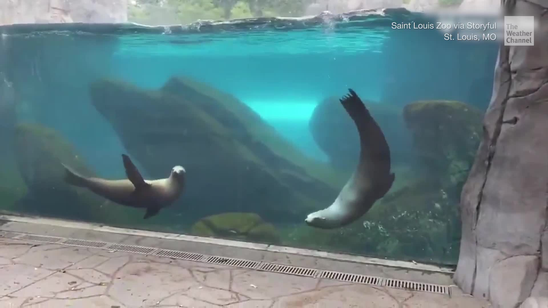 Sea lions at the St. Louis Zoo in Missouri got some much needed mental and physical stimulation from a remote control car.
