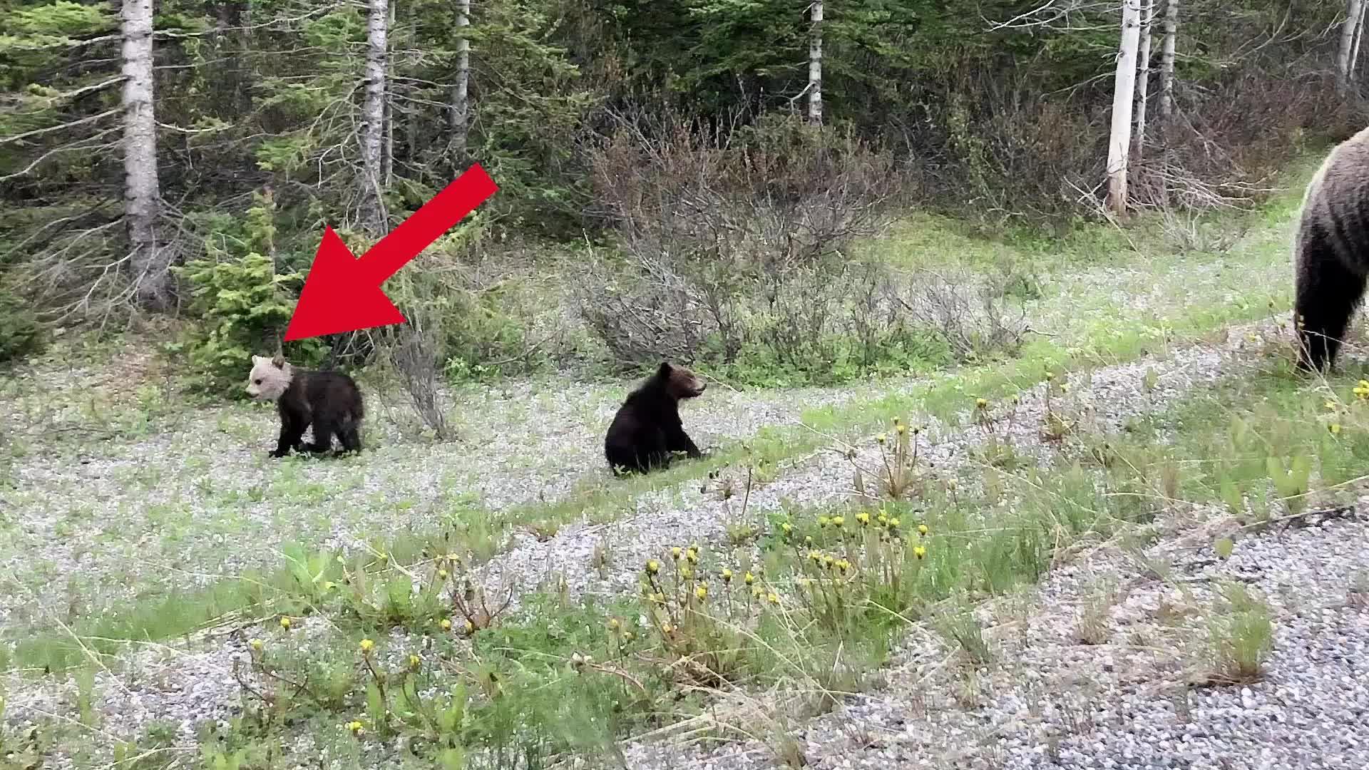 Rara cría de oso con cabeza blanca visto en parque