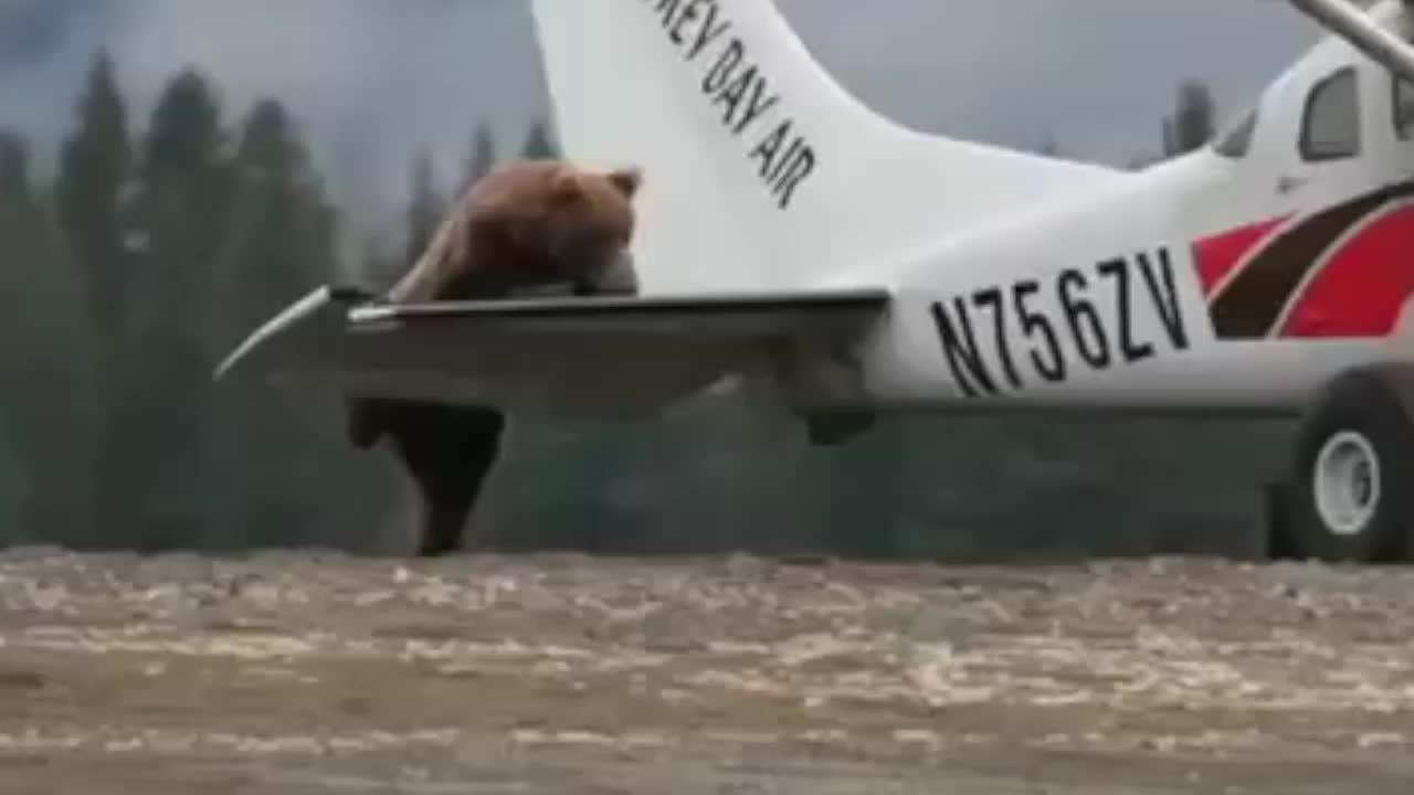 Watch Bear Climb onto Plane in Alaska
