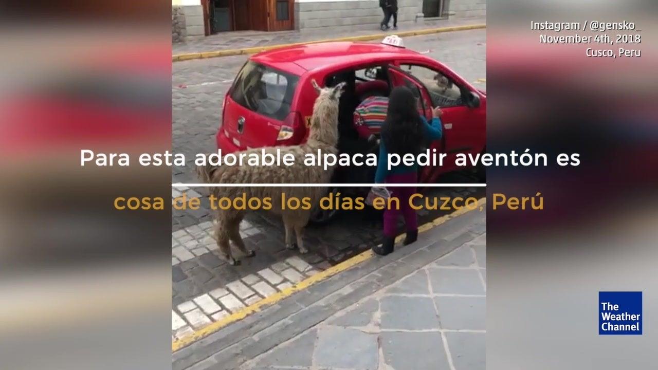 Alpaca pide aventón a taxi en Cusco, Perú