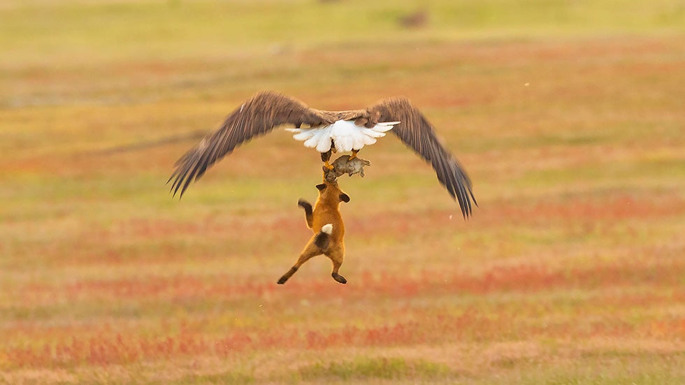 eagle steals rabbit from a hungry fox in washington state
