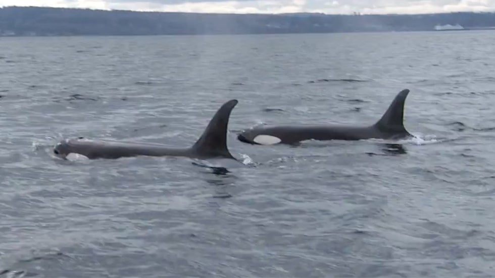 Pipeline Expansion Could Push Endangered Whale to Extinction