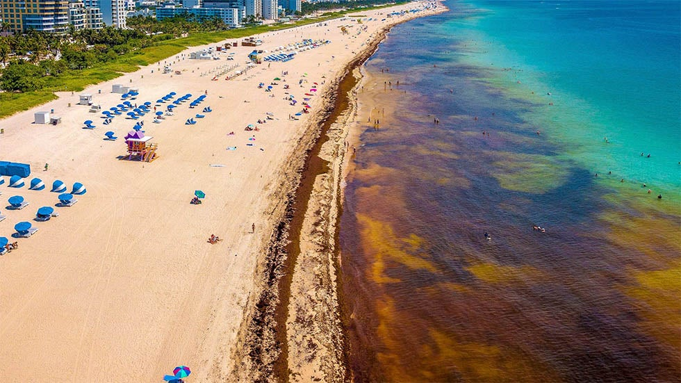 Sargassum Seaweed Invades Caribbean South Florida Beaches