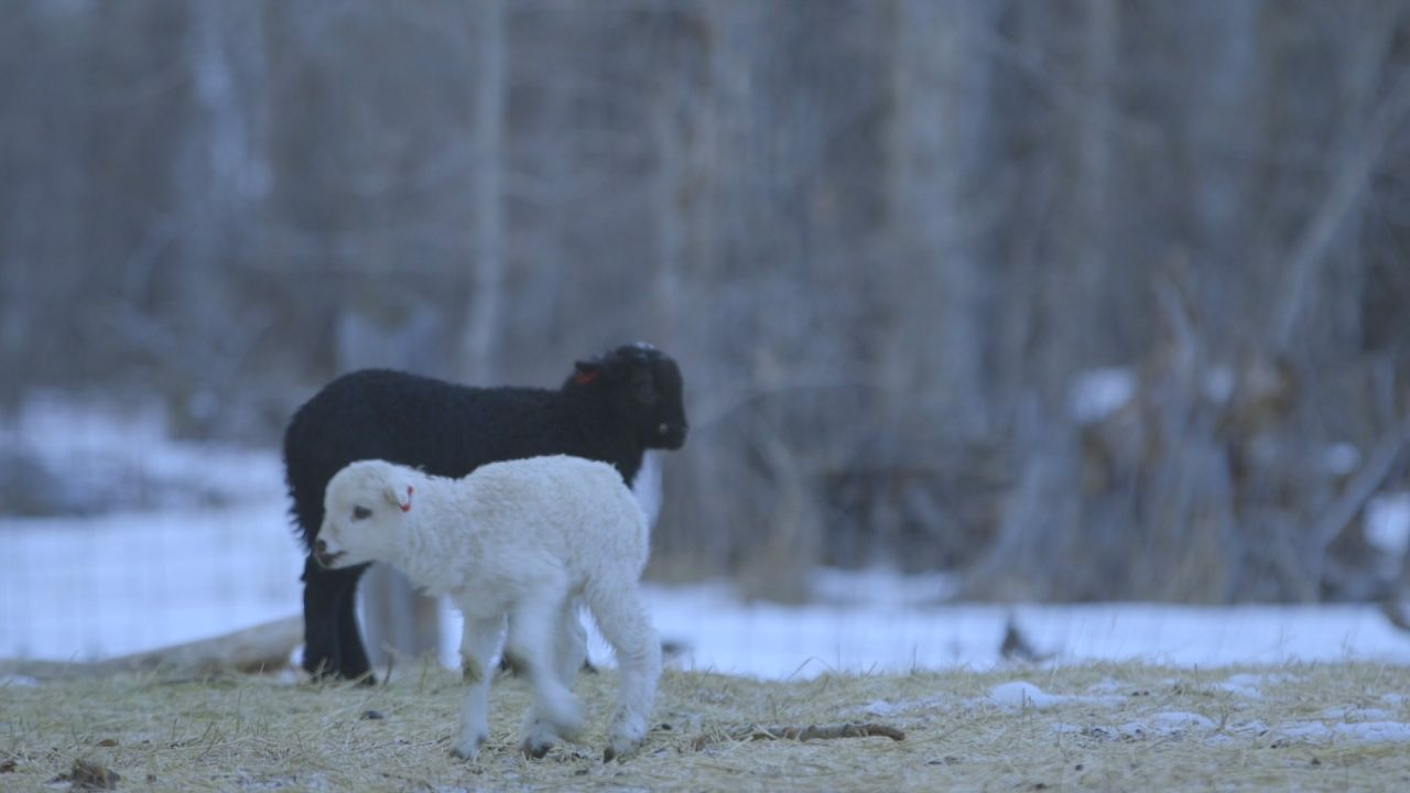 How Can Lambs Survive -30 Degrees?