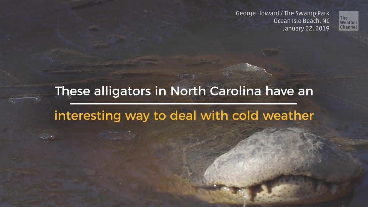 Alligators have special way to deal with cold