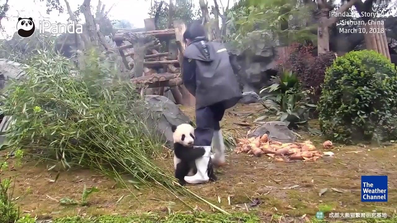 watch  adorable panda cub in china won u2019t let go of handler
