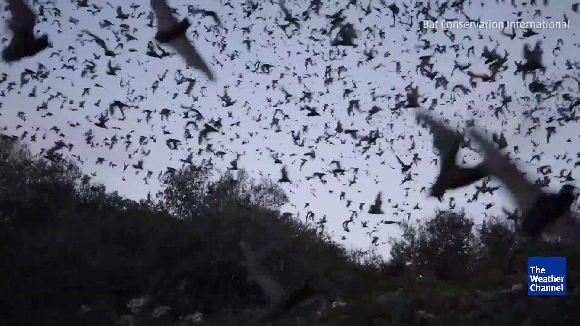 Millions of Bats Take Flight in Texas, Watch LIVE Tonight