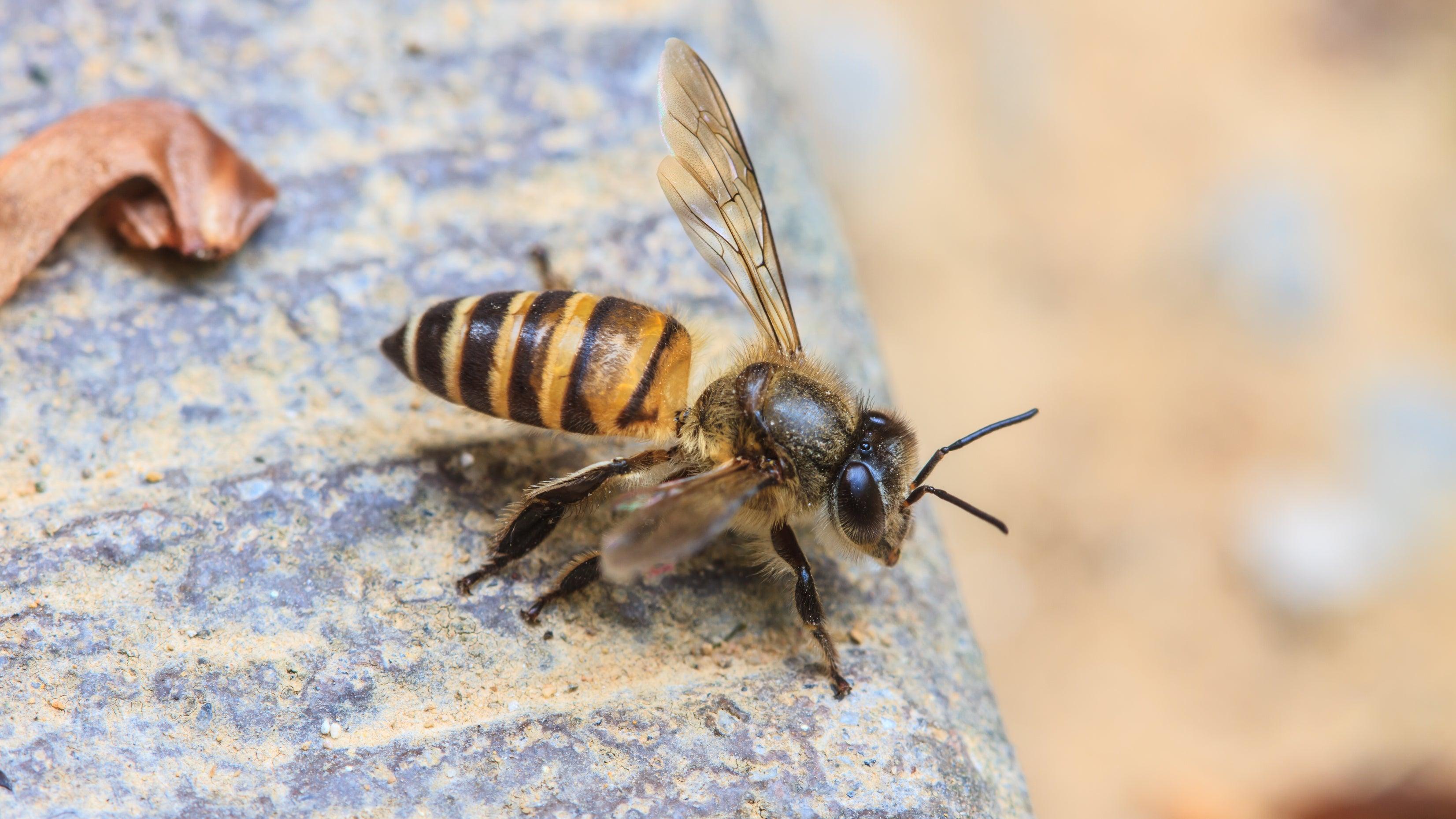 """Zuckerwasser """"sinnlos"""": Experte erklärt, was Bienen wirklich hilft"""