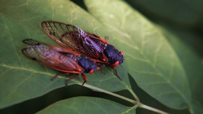 17-Year Periodical Cicadas Emerge in Central New York