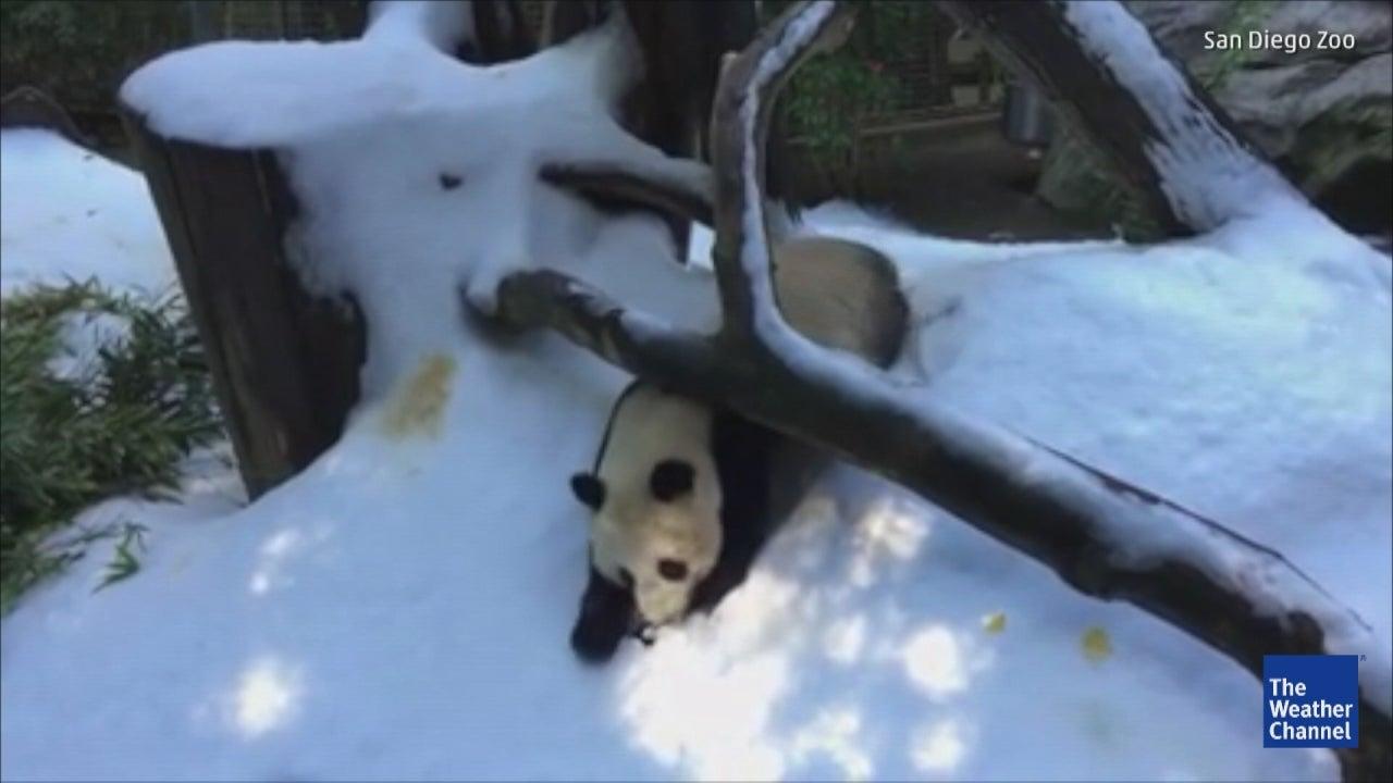 Panda Freaks Over Snow, Fails