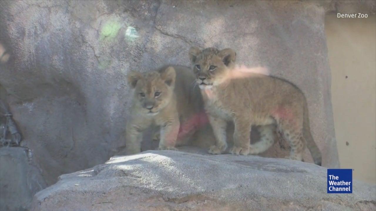 Cuddly Lion Cubs Make Public Debut