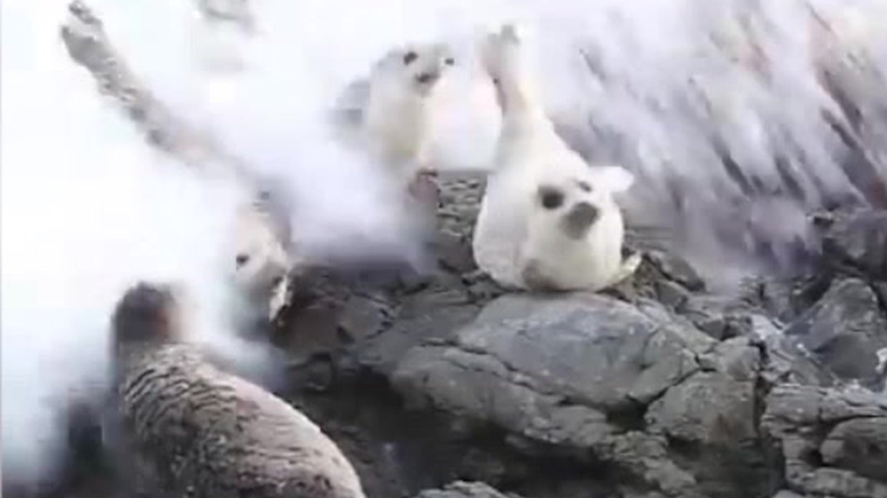 Huge wave wipes out a group of seals