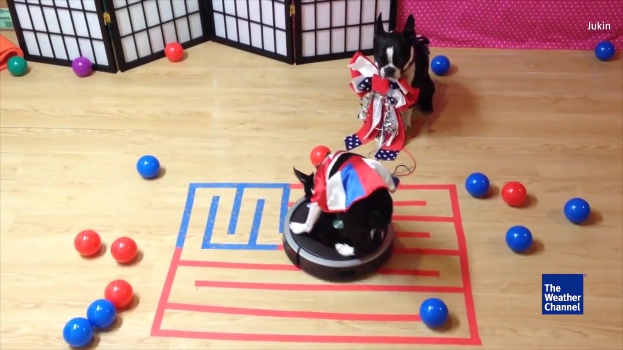 Patriotic Dog Rides Roomba