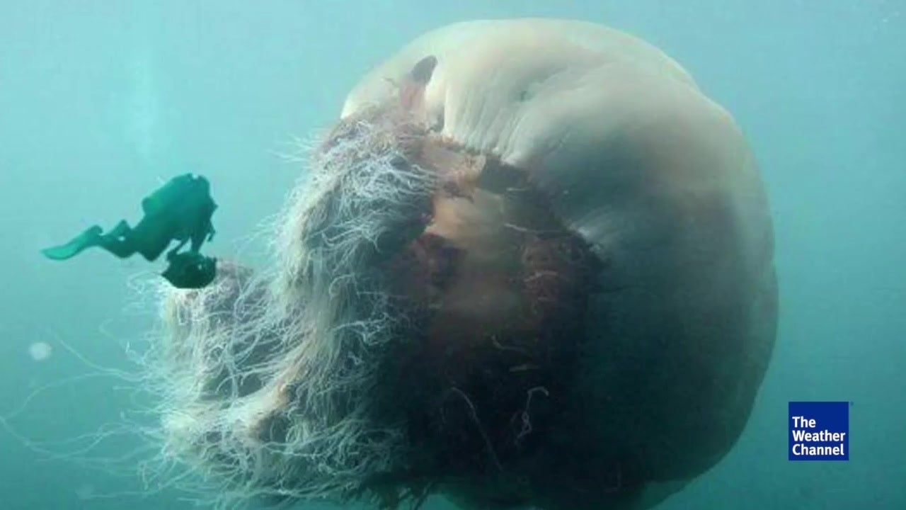 Watch: Monster jellyfish too big to be true