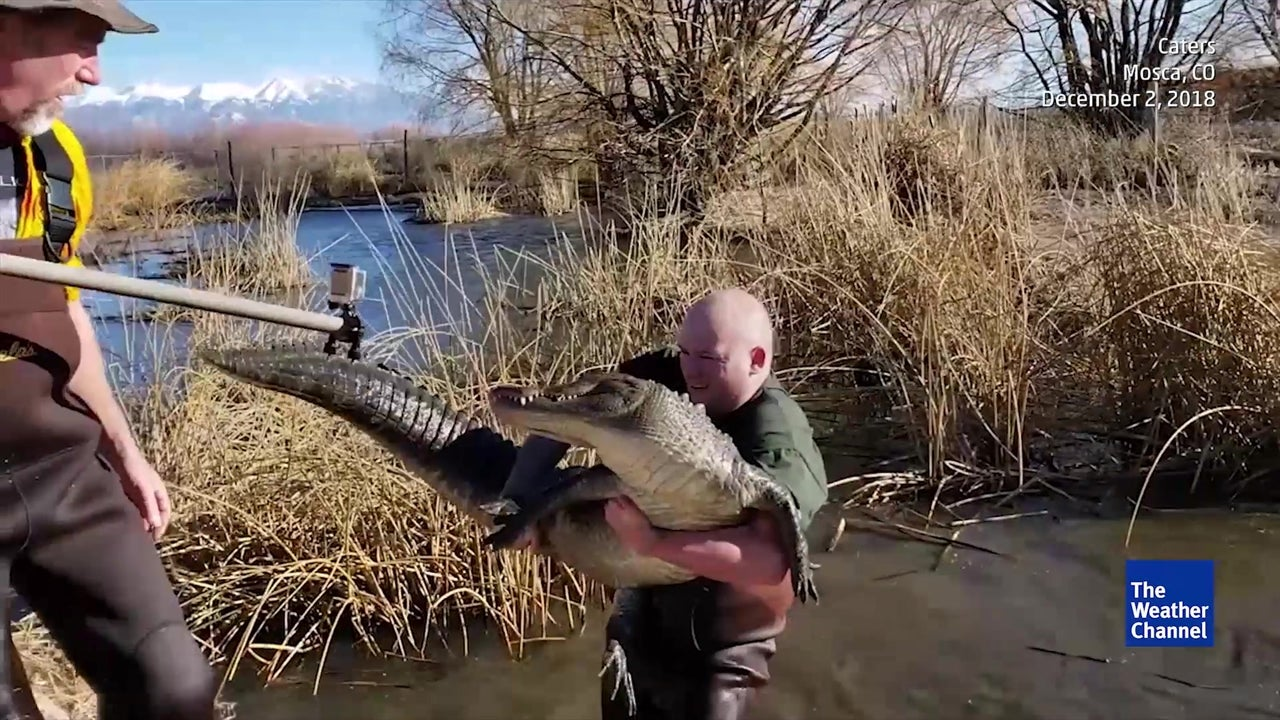 Gator Gets Relief From Colorado Cold