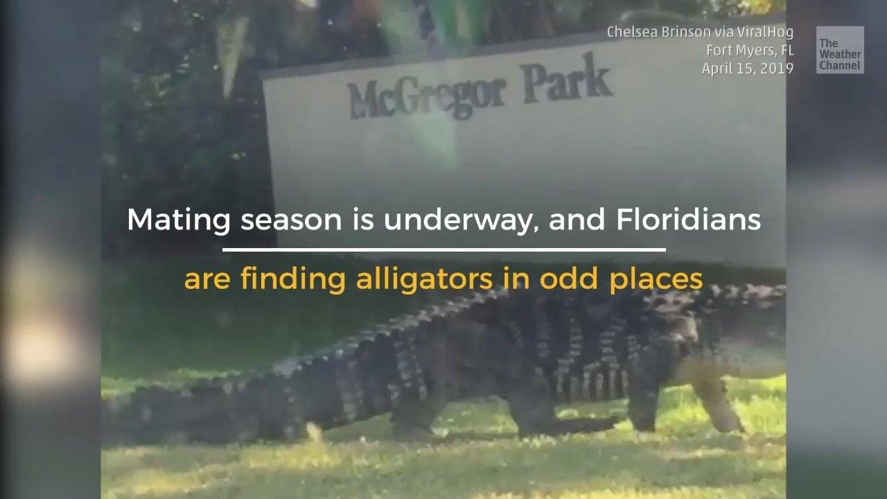 Florida Just Became Tinder for Alligators