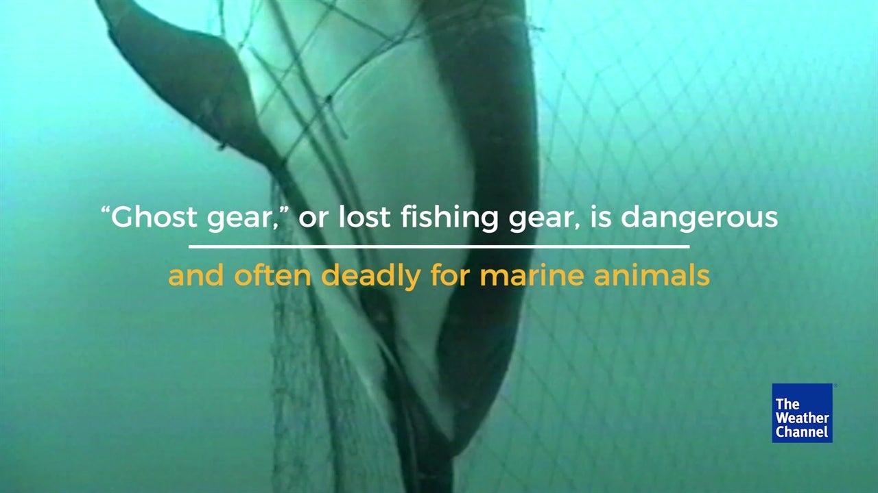 VIDEO: Ghost fishing gear deadly for animals