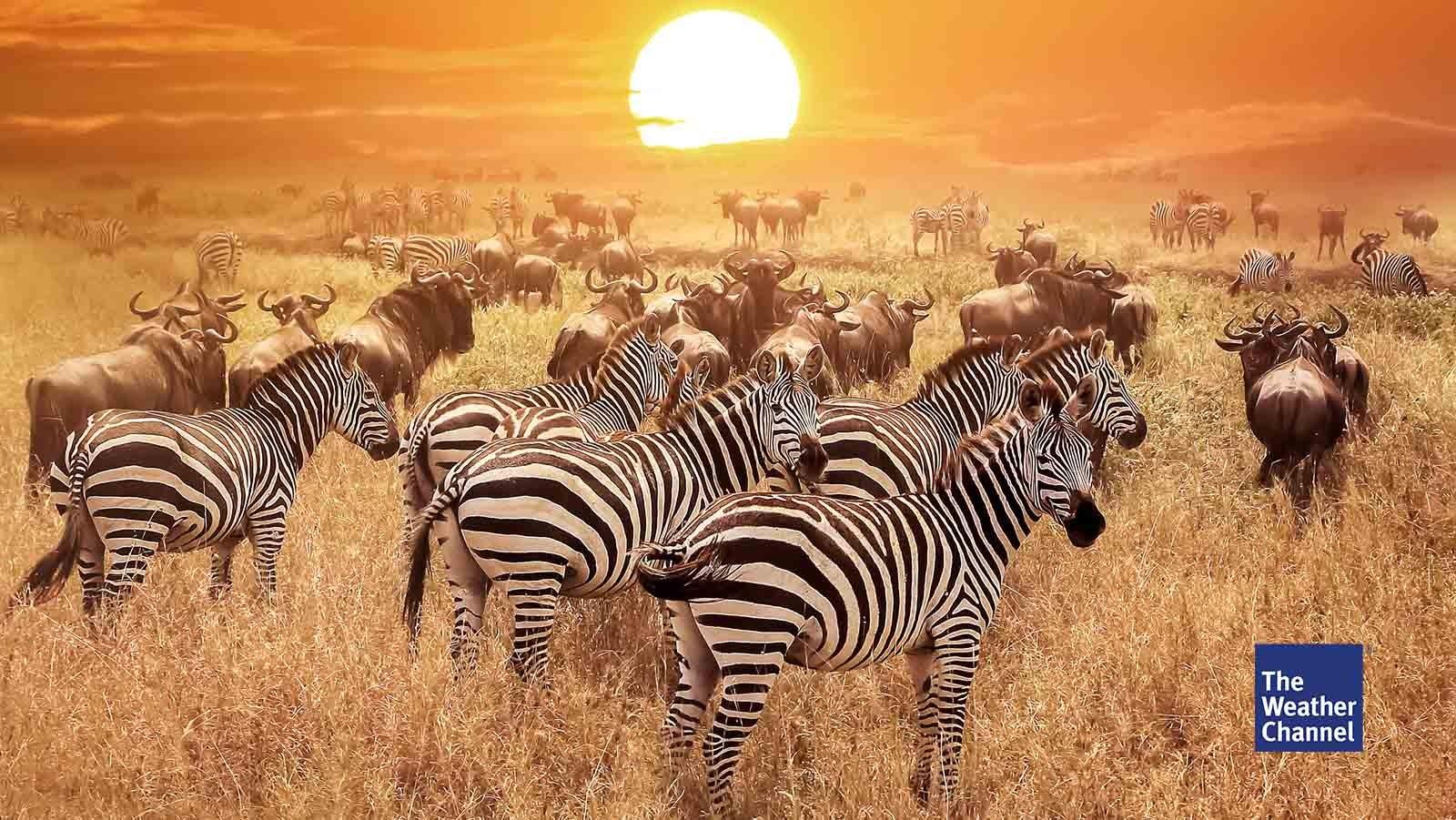 Warum haben Zebras Streifen?
