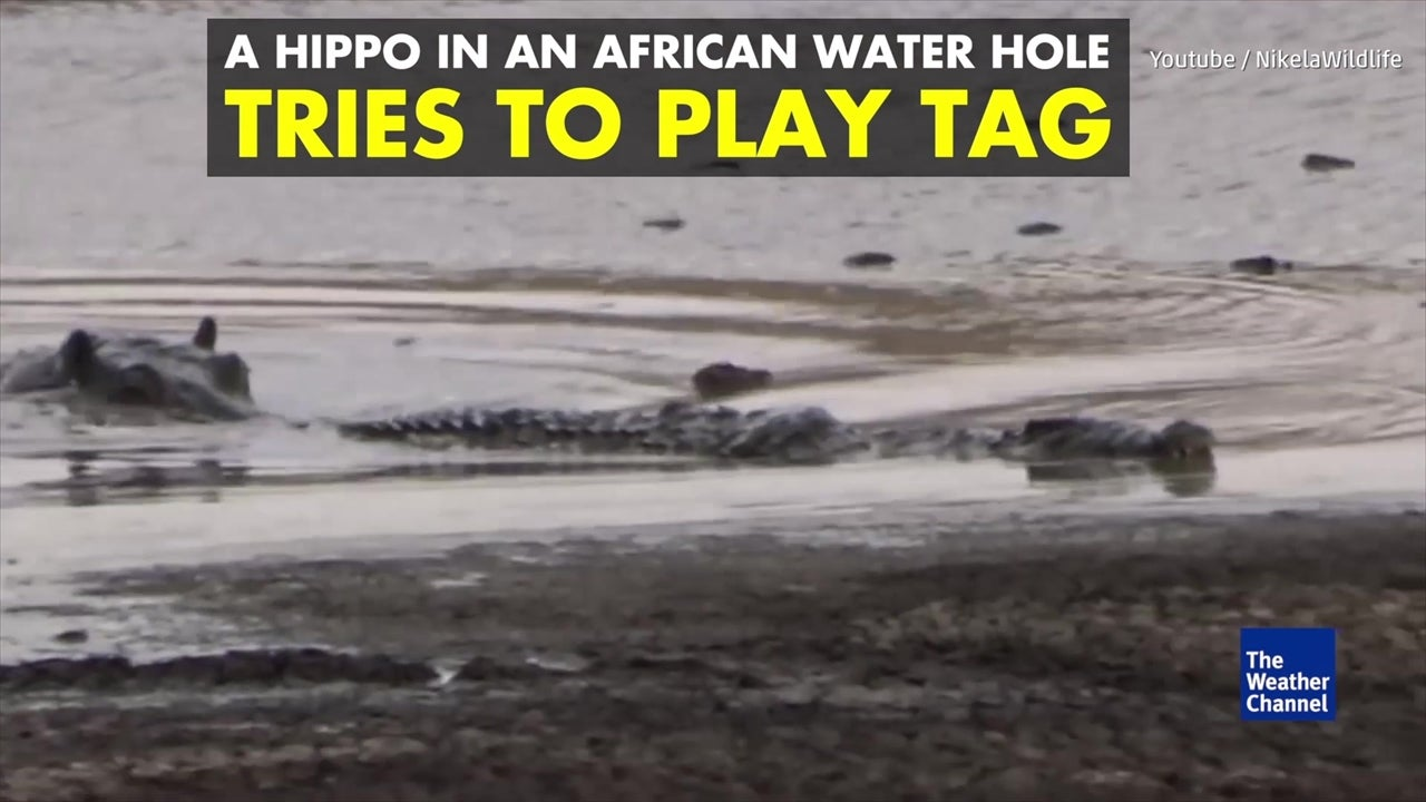 Watch: Hippo plays deadly game of tag with crocodile