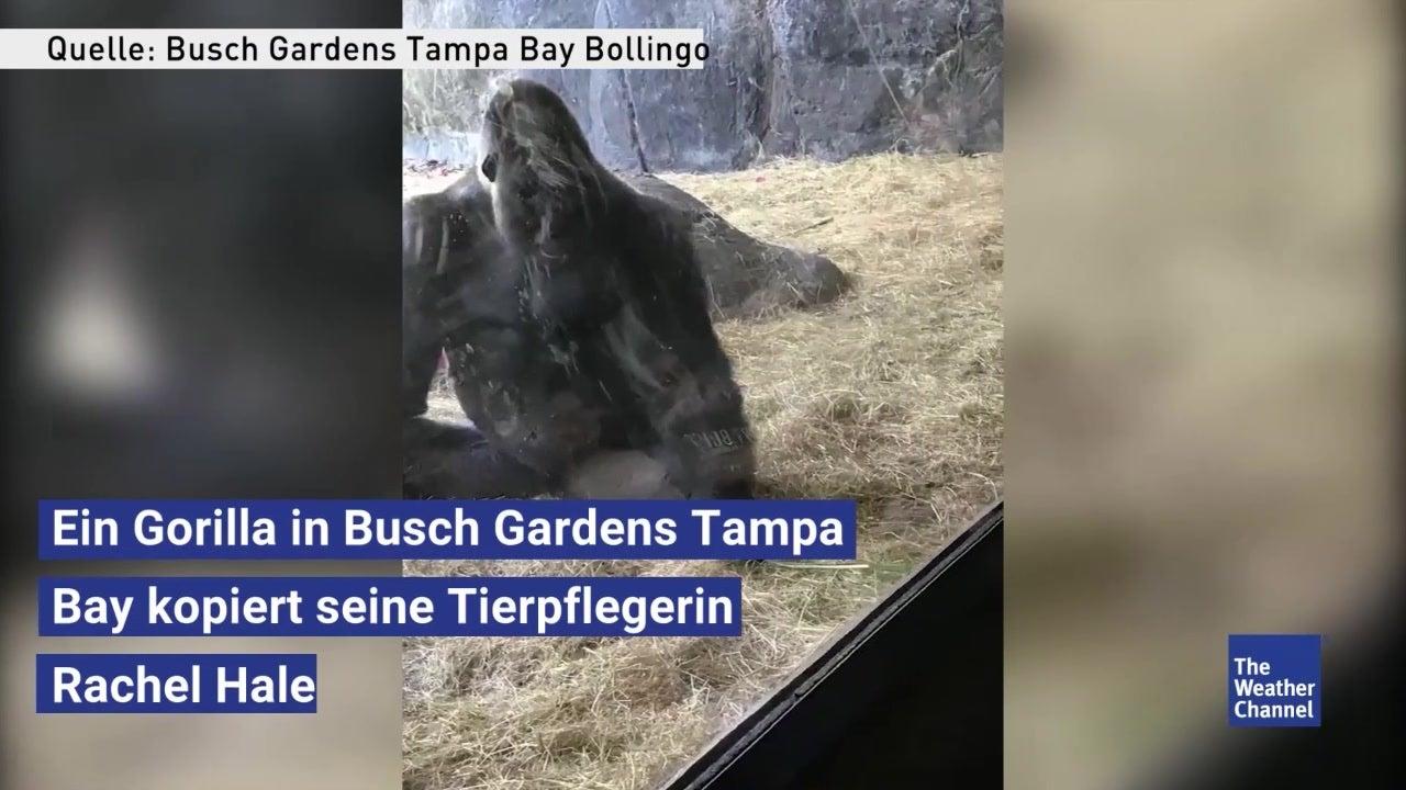 Herzerwärmend: Gorilla kopiert Benehmen seiner Pflegerin