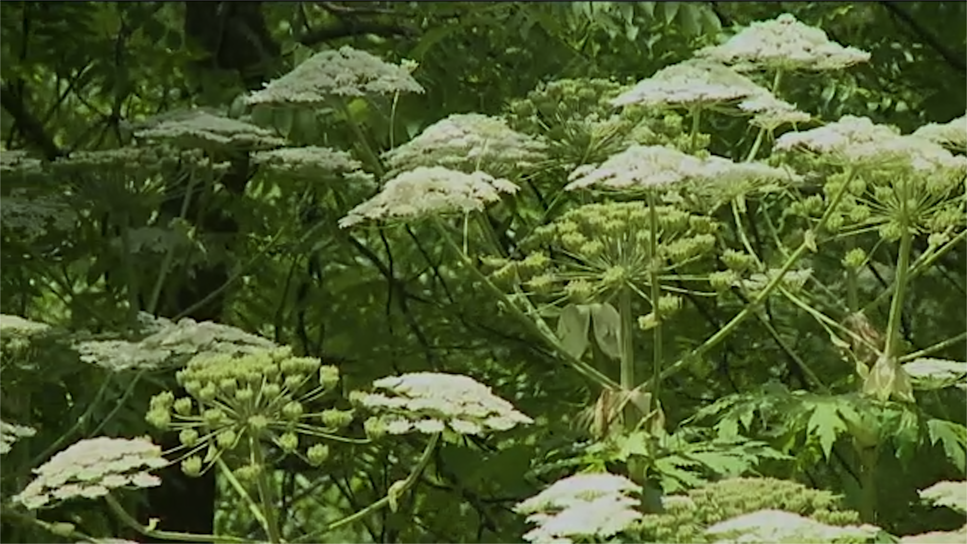 Horror Plant Spreads In US, Spotted In Virginia For First Time