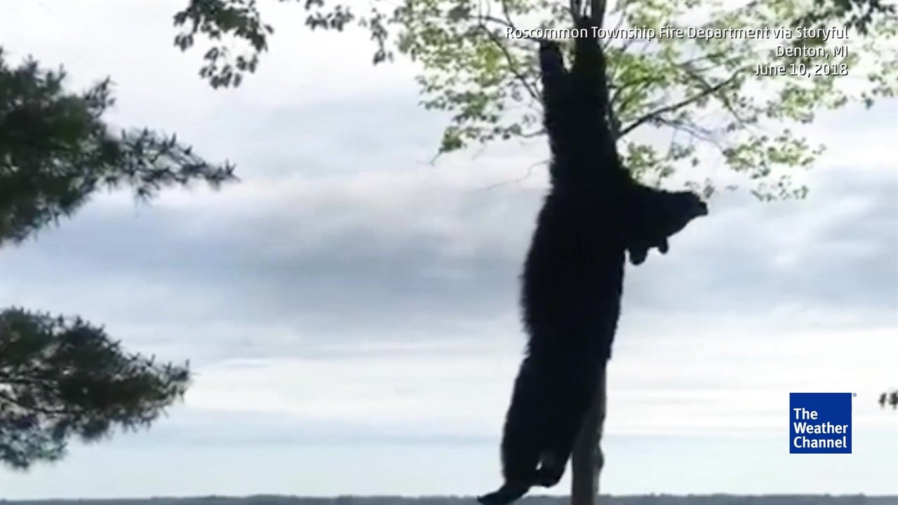 Tranquilized Black Bear Removed From Tree